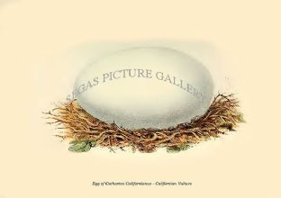 Egg of Cathartes Californianus - Californian Vulture